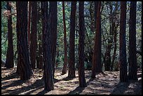 Pine trees, Happy Valley, Rincon Mountain District. Saguaro National Park ( color)