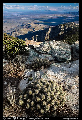 Cactus growing at 8,000 feet on Rincon Peak. Saguaro National Park (color)