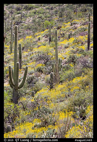 Slope with Saguaro cacti and brittlebush, Rincon Mountain District. Saguaro National Park (color)
