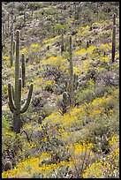 Slope with Saguaro cacti and brittlebush, Rincon Mountain District. Saguaro National Park ( color)
