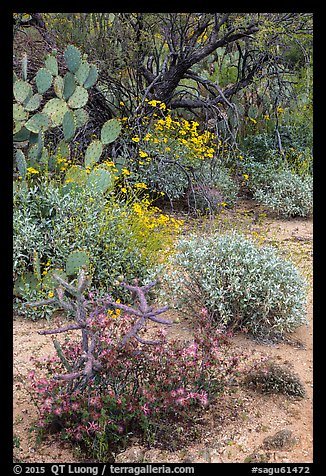 Cactus, brittlebush, and trees, Rincon Mountain District. Saguaro National Park (color)