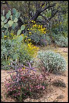 Cactus, brittlebush, and trees, Rincon Mountain District. Saguaro National Park ( color)