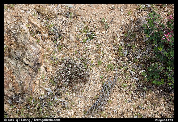 Ground view with tiny flowers and cactus skeleton, Rincon Mountain District. Saguaro National Park (color)