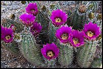 Blooming hedgehog cactus. Saguaro National Park ( color)