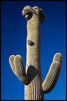 Crested Saguaro cactus top. Saguaro National Park ( color)
