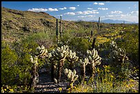 Desert in spring with cholla cactus, Rincon Mountain District. Saguaro National Park ( color)