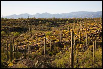 Lush Sonoran desert landscape, Rincon Mountain District. Saguaro National Park ( color)