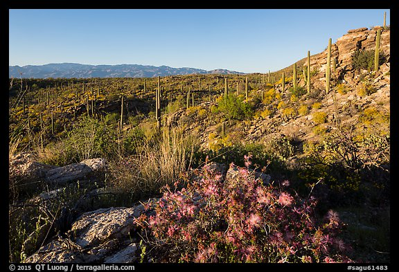 Sonoran desert in bloom, Rincon Mountain District. Saguaro National Park (color)