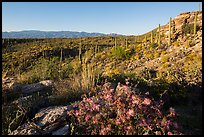 Sonoran desert in bloom, Rincon Mountain District. Saguaro National Park ( color)