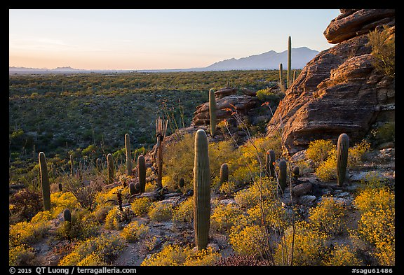 Last light on blooming brittlebush, cactus, and rocky outcrop. Saguaro National Park (color)