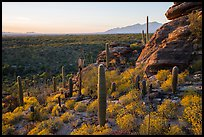 Last light on blooming brittlebush, cactus, and rocky outcrop. Saguaro National Park ( color)