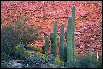 Green saguro cactus and slope painted red by sunset light. Saguaro National Park ( color)
