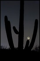 Crescent moon setting over saguaro cactus, Rincon Mountain District. Saguaro National Park, Arizona, USA.