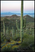 Saguaro cactus and Red Hills at dawn. Saguaro National Park ( color)