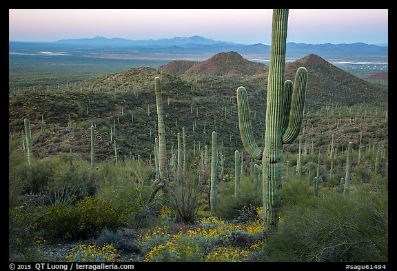 Saguaro cactus forest in the spring from hillside at dawn. Saguaro National Park (color)
