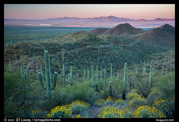 Saguaro cactus forest and Red Hills at sunrise. Saguaro National Park (color)