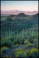 Saguaro cactus forest, Red Hills, and Kit Peak at sunrise. Saguaro National Park ( color)