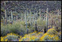 Brittlebush flowers, ocotillo and dense cactus forest. Saguaro National Park ( color)