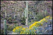 Slopes with saguaro cacti and flowering brittlebush. Saguaro National Park ( color)