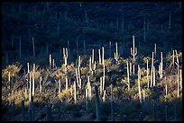 Spotlight on group of saguaro cacti. Saguaro National Park ( color)
