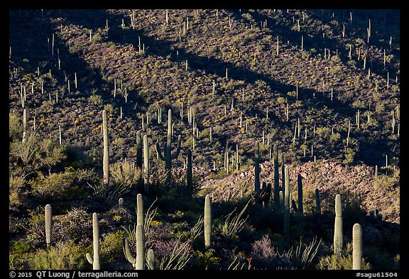Shadows delineating ridges with saguaro cactus. Saguaro National Park (color)