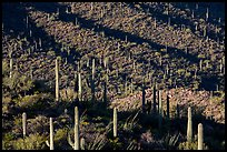 Shadows delineating ridges with saguaro cactus. Saguaro National Park ( color)