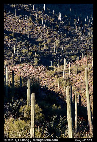 Ridges, shadows, and saguaro cacti. Saguaro National Park (color)