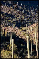 Ridges, shadows, and saguaro cacti. Saguaro National Park ( color)