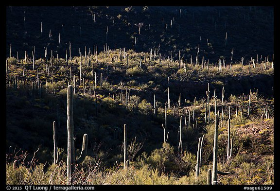 Saguaro cactus on hill ridges. Saguaro National Park (color)