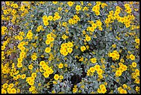 Close-up of brittlebush in bloom. Saguaro National Park ( color)