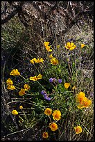 Close-up of poppies and cactus. Saguaro National Park ( color)