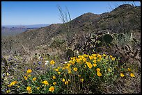 Poppies, cactus, Amole and Wasson Peaks. Saguaro National Park ( color)