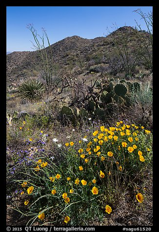 Poppies, cactus, and Tucson Mountains. Saguaro National Park (color)