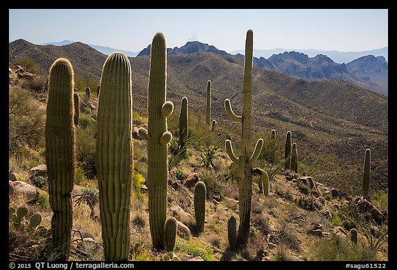 Cactus and Tucson Mountains. Saguaro National Park (color)