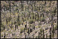 Dense saguaro forest, mid-day. Saguaro National Park ( color)