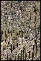 Dense saguaro cactus forest. Saguaro National Park ( color)