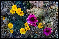 Close-up of hedgehodge cactus in bloom and poppies. Saguaro National Park ( color)