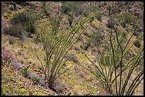 Ocotillo and desert floor carpeted with annual flowers. Saguaro National Park ( color)