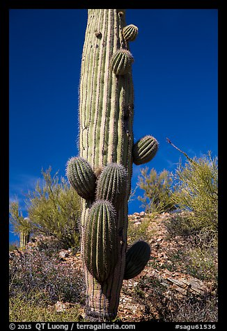 Saguaro cactus with many short arms. Saguaro National Park (color)
