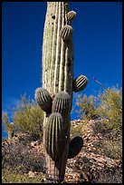 Saguaro cactus with many short arms. Saguaro National Park ( color)
