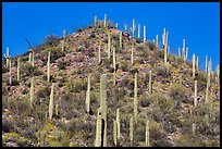 Hill with saguaro cacti in the spring. Saguaro National Park ( color)