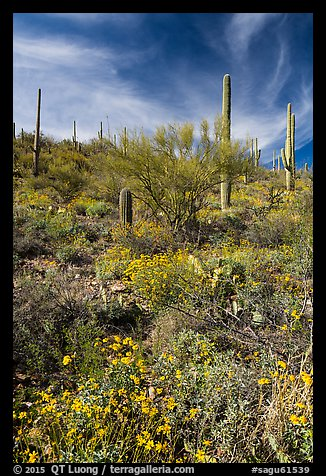 Brittlebush and saguaro on slope. Saguaro National Park (color)