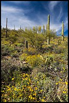 Brittlebush and saguaro on slope. Saguaro National Park ( color)