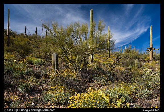Cacti on slope carpetted with springtime blooms. Saguaro National Park (color)