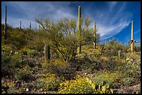 Cacti on slope carpetted with springtime blooms. Saguaro National Park ( color)