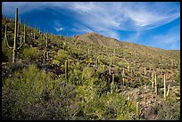 Verdant desert slopes leading to Wasson Peak. Saguaro National Park ( color)