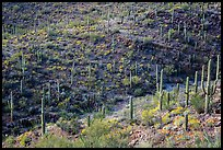 Wash and slopes with cactus and brittlebush. Saguaro National Park ( color)
