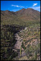 Wash surrouned by innumerable cacti, and Wasson Peak. Saguaro National Park ( color)