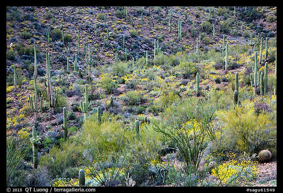 Wash and slopes with ocotillo, cacti, and brittlebush. Saguaro National Park (color)