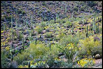 Wash and slopes with ocotillo, cacti, and brittlebush. Saguaro National Park ( color)